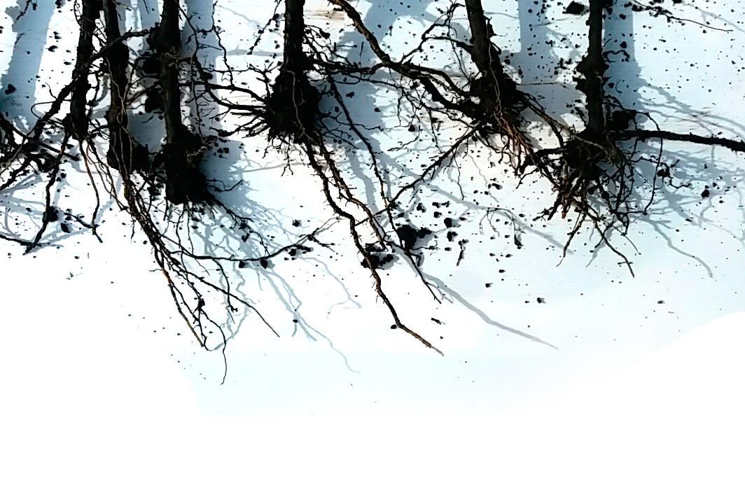 Cordon Blanco-Fosfoactiv